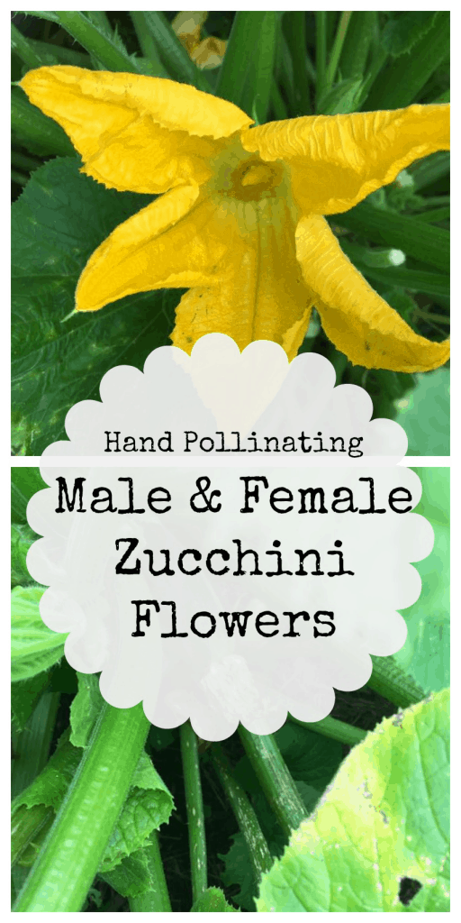 Hand pollating male and female zucchini plants