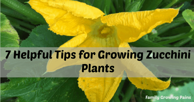 7 Helpful Tips for Growing Zucchini Plants