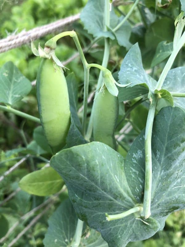 Pea Pods Before Harvesting
