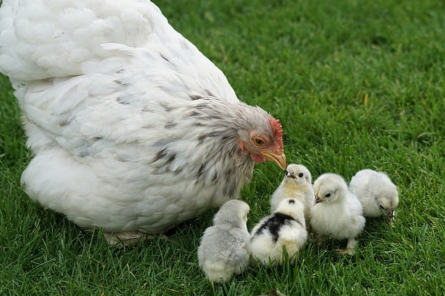 Mother hen with her chicks
