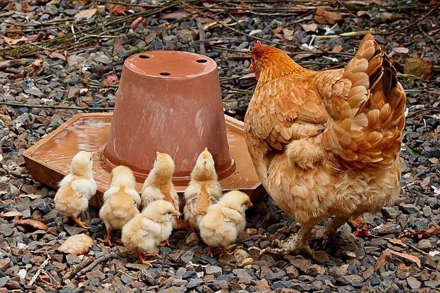 Best Broody Hen Breeds
