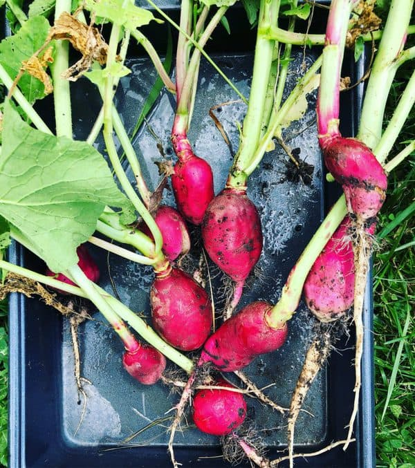 Red Radishes in a Pan