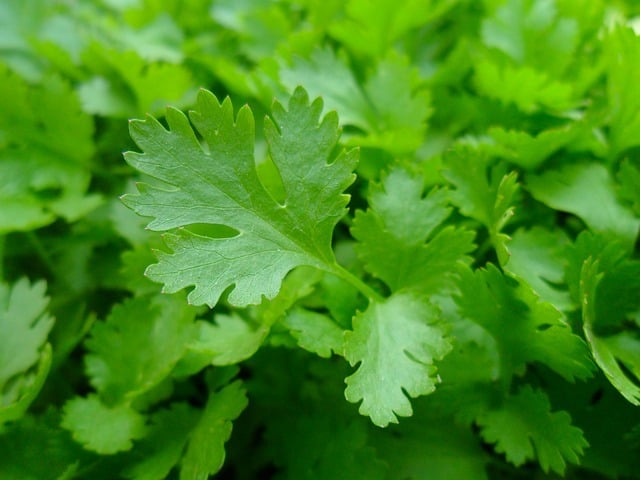 Parsley is one of the easiest culinary herbs to grow.