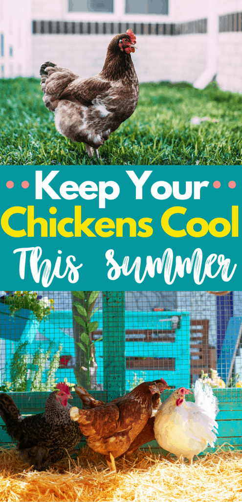 Make sure you keep your chickens cool this summer.