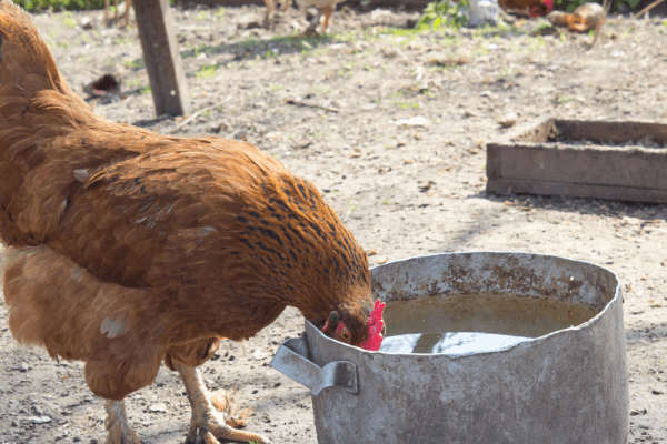 Chickens need plenty of water in order to stay cool in the summer.