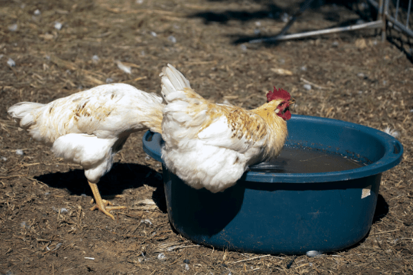 If you want to keep chickens cool, make sure you leave water so they can splash or dunk themselves.