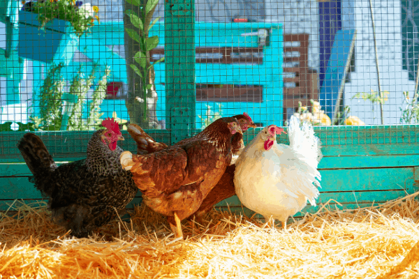 A key to keep chickens cool is plenty of shade and frozen foods.