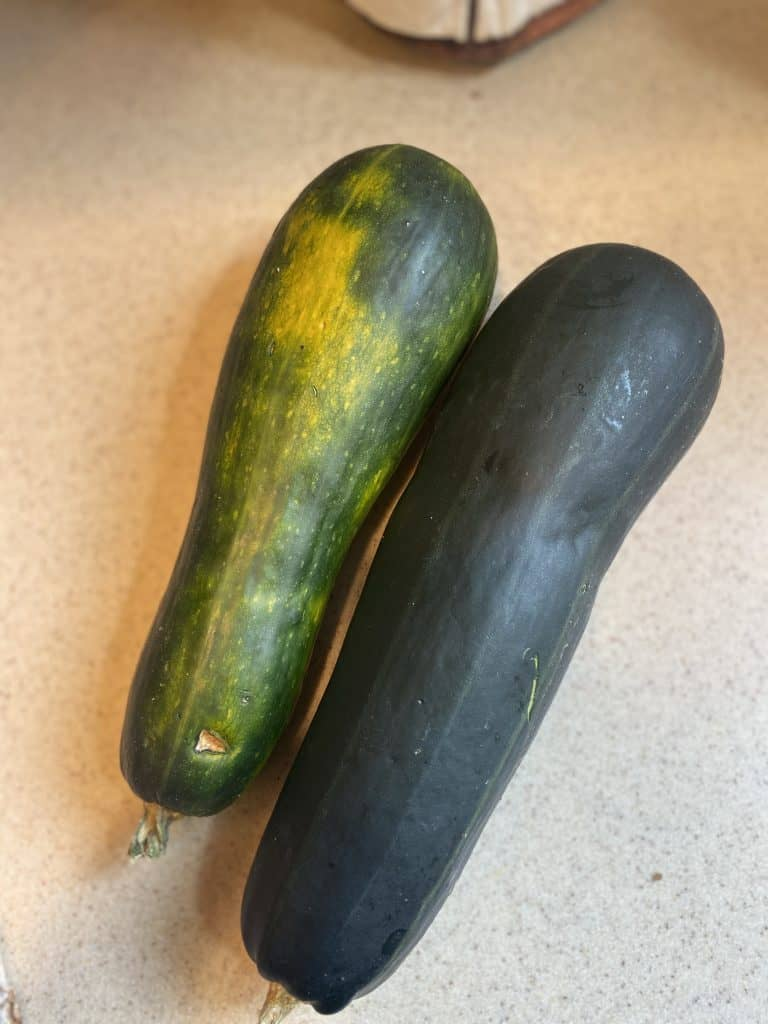 oversized zucchinis harvested from the garden